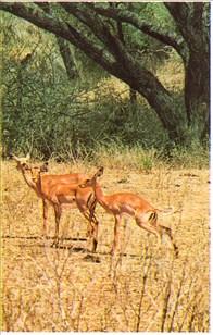 Antiloper på land webbkryss
