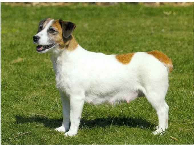 jack russell terrier glathåret